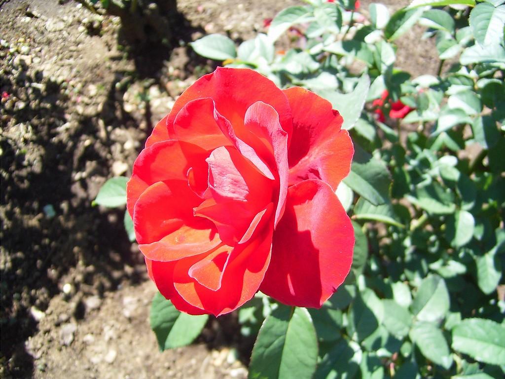 植物公園のバラ1