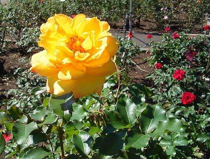 植物公園のバラ2